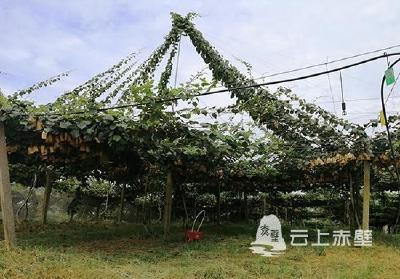 小小奇异果 开创大产业 赤壁猕猴桃产业的崛起