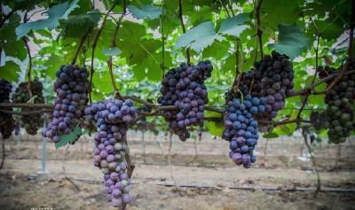 美文 l 洞门口的葡萄熟了