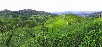 湖北茶叶出口量居全国第五 今年茶叶总产量达33万吨