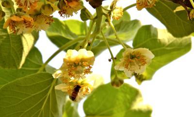 赤壁:猕猴桃花开 果农授粉忙
