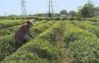 赤壁:刘季秋38年手工制茶练就绝活 上千次高温翻炒造就品质