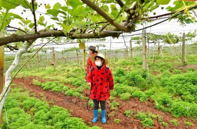 赤壁猕猴桃:花期护理保品质