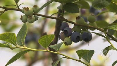 一颗蓝莓两头甜?究竟为何