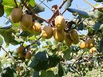 组图   赤壁猕猴桃喜获丰收