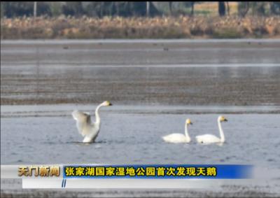 视频丨张家湖国家湿地公园首次发现天鹅