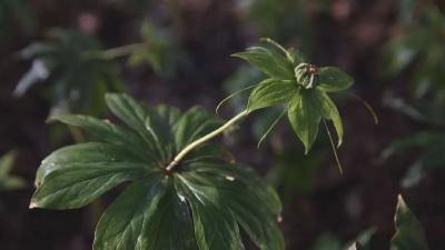 """神农架林区综合品种被湖北确定为道地中药材""""一县一品""""建设品种"""