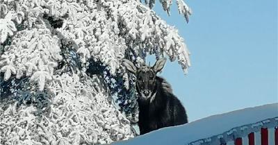 神农架一鬣羚雪中觅食被抓拍