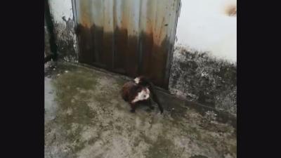 """神农架国家公园管理局救助""""三有""""动物红白鼯鼠"""
