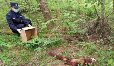 受伤的蓝翡翠鸟和迷路的红白鼯鼠获救