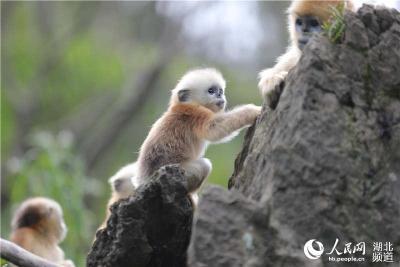 神农架大龙潭喜添今年第9只金丝猴宝宝