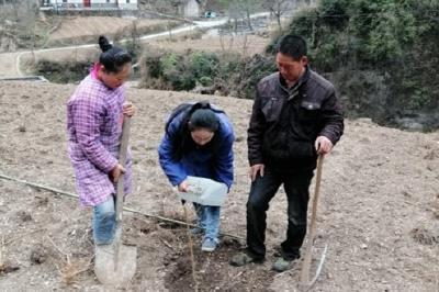 """新华镇桃坪村种下3000余株""""摇钱树"""""""