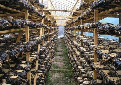 洛阳香菇基地重建走环保节能路 新装杀菌设备比以往节能4/5