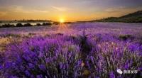 还去什么普罗旺斯,未来的均川薰衣草小镇,美哭!