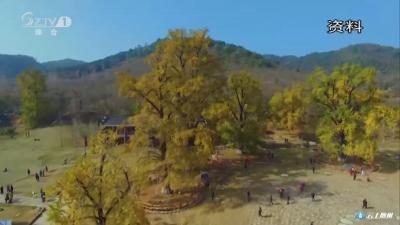 洛阳银杏谷景区:提升游客接待能力   不让银杏之美打折扣