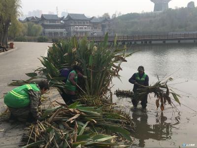 文化公园完成水生植物修剪工作