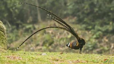 长尾大鸟破窗而入 竟是国家二级保护动物
