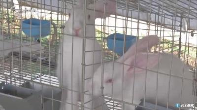 中药养殖实验兔  防病环保还增收