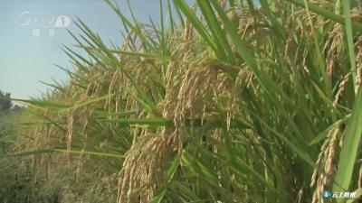 推广优质水稻种植 振兴随州稻米产业