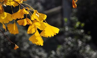随州上榜全国十大最美银杏观赏地