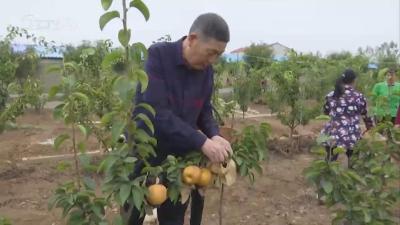 V视|万福店黑龙口村:种上金果梨  走上致富路
