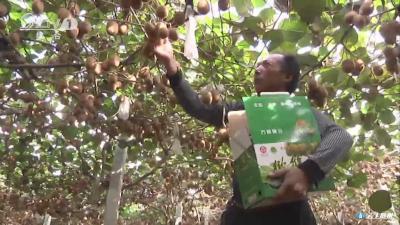 生态猕猴桃 丰收正当时