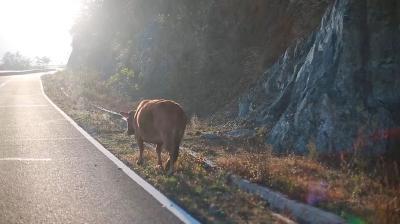 这群不回家的牛, 在300㎡公里的绝美仙境诗意栖居