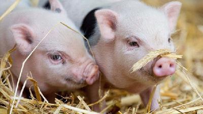 2021年武汉生猪年出栏量 计划回升至280万头