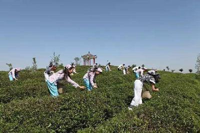 """随州""""香菇大王""""的茶叶生意"""