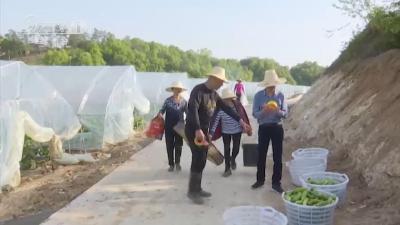 何店镇桂华村:蔬菜大棚里实现脱贫致富梦