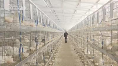 王店村:向阳生态坡 农家鸽蛋鲜