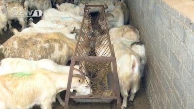 万只羊场 养羊致富日子甜