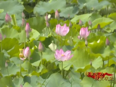 广水油榨桥村:扶贫太空莲花开正旺