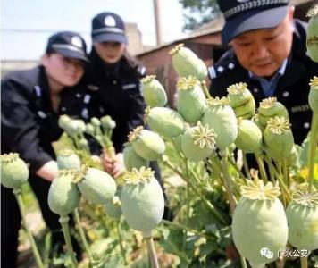 【禁毒行动】 非法种植罂粟,广水这三人受到治安处罚