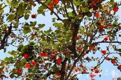 湖北日报点赞|柿子红了,乡村旅游热了!广水市桃源村日均接待游客超3000人次