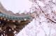 居家抗疫 云上賞花丨武大櫻花慢直播