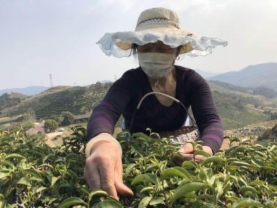 武胜关镇:疫情难挡春茶香