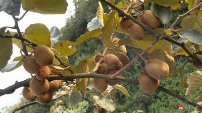 廣水15000畝優質獼猴桃 帶火產業 帶富鄉親