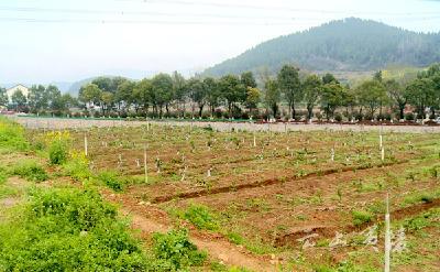 龙泉镇:实施柑橘品种改良 促进农民增产增收