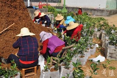 鸦鹊岭镇梅店村3万株纽荷尔为移民打造精品果园