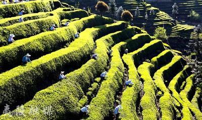 推进茶旅融合 建设最美茶乡