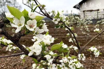 宜昌夷陵脱贫树上开满希望花 绿色产业鼓起增收钱袋子
