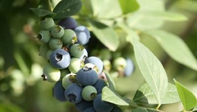 """学习强国:夷陵蓝莓成熟 游客乐享""""莓""""好时光"""