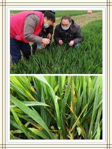 襄州区小麦病虫发生及防治行动情况