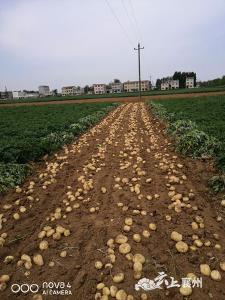 双膜马铃薯喜获丰收  亩纯收入5000元以上