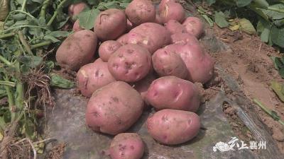 襄州区成功试种新品种马铃薯 亩产达7000斤