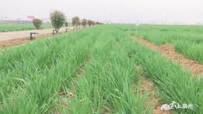 农技专家提醒农民抓好小麦管理