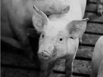 """农业农村部提醒猪农莫贪便宜导致""""猪财两空"""""""