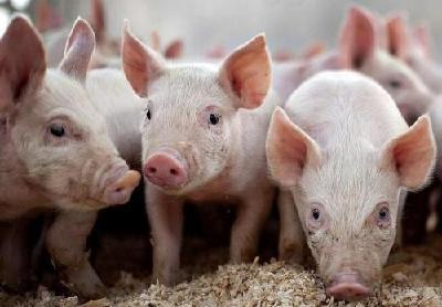 """养殖企业存顾虑 """"猪粮比""""回归拉响双重警报"""