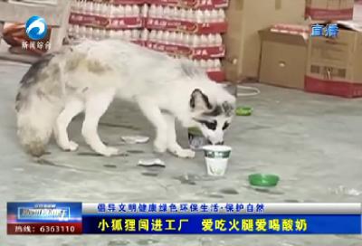 小狐狸闯进工厂 爱吃火腿爱喝酸奶