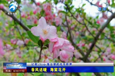 记者VLOG :春风送暖 海棠花开